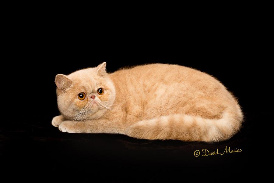 exotic shorthair kittens from stellarosa exotics