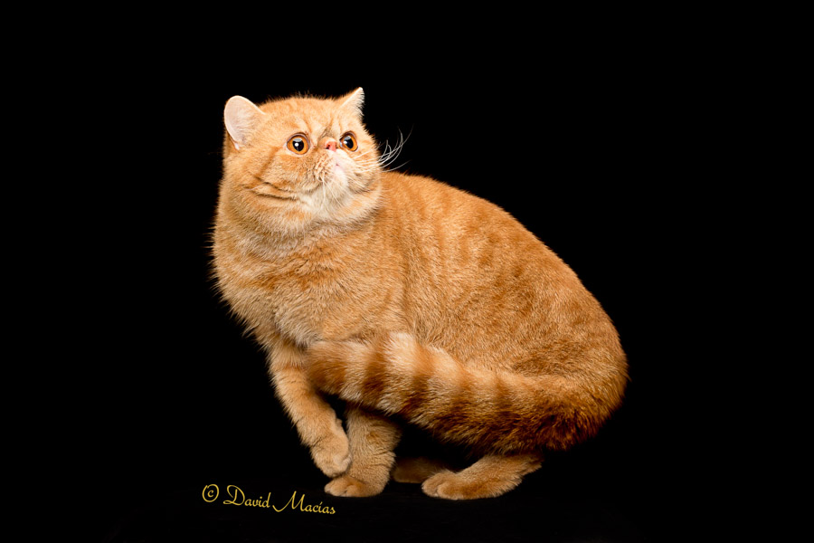 exotic shorthair-stellarosa exotics-cfa-cat