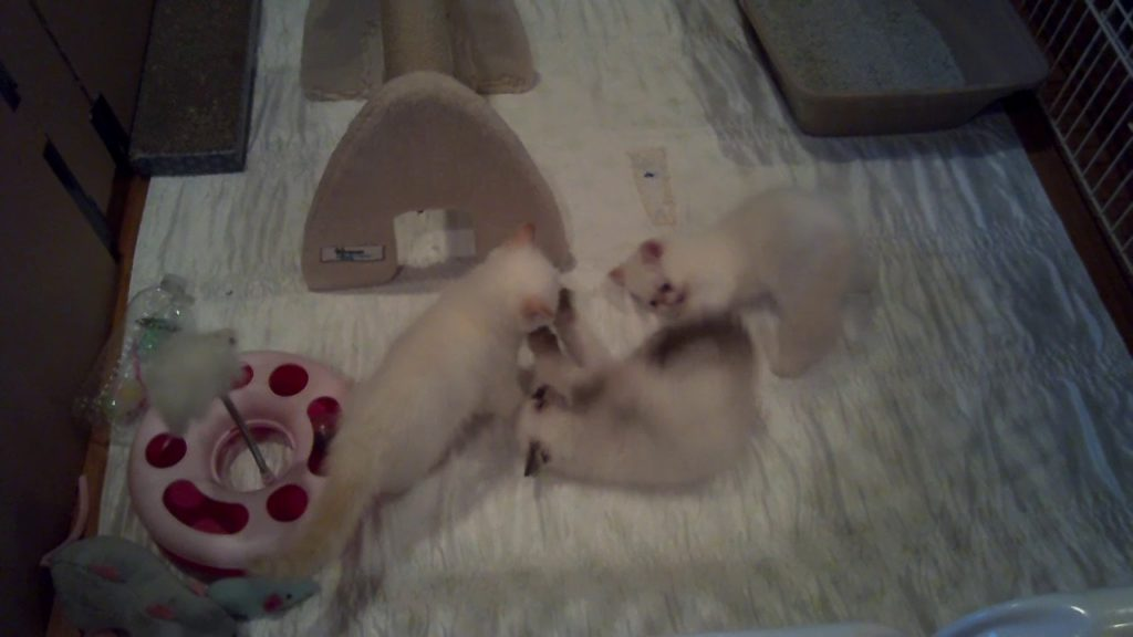 stellarosa exotics, exotic shorthair, kittens,