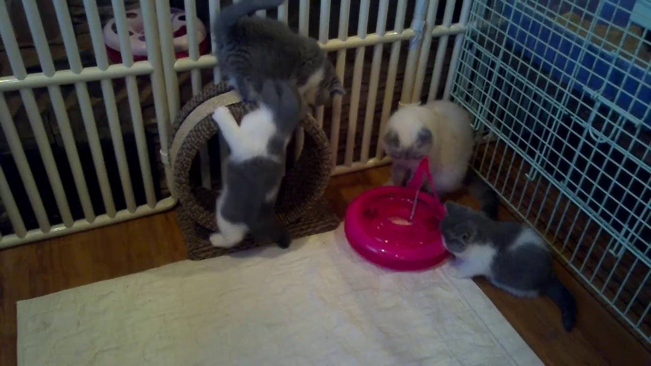 kittens, exotic shorthair, stellarosa exotics,