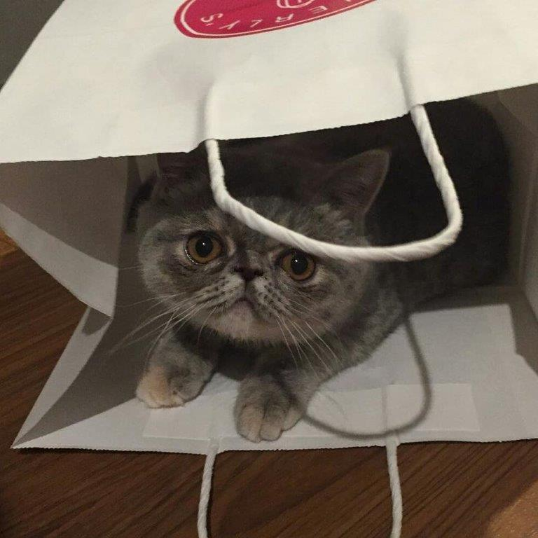 exotic shorthair kitten, blue cream tabby, stellarosa exotics,