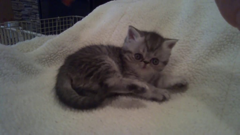 exotic shorthair kittens for sale, exotic shorthai male for sale, kittens for sale,