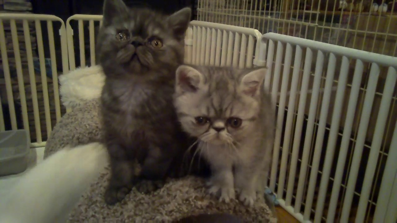 exotic shorthair, exotic shorthair kittens for sale, exotic shorthair kittens for sale in california,